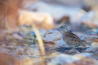 Chestnut-backed Button-quail - Turnix castanotus