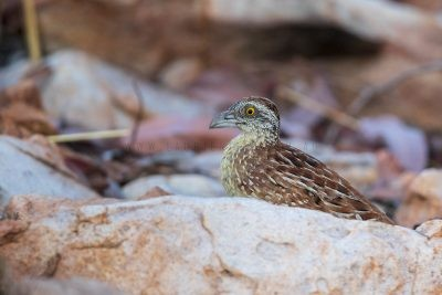 Chestnut-backed Button-quail - Turnix castanotus.1