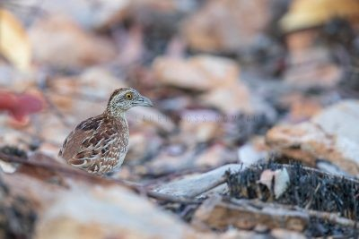 Chestnut-backed Button-quail - Turnix castanotus.4