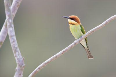 Chestnut-headed Bee-eater (Merops leschenaulti)