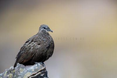 Chestnut-quilled Rock-pigeon (Petrophassa rufipennis).3