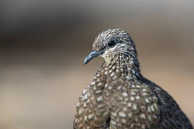 Chestnut-quilled Rock-pigeon - Portrait (Petrophassa rufipennis).1