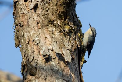 Chestnut-vented Nuthatch (Sitta nagaensis)