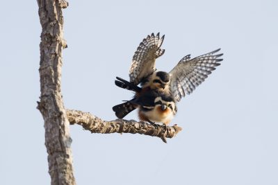 Collared Falconet - Mating (Microhierax caerulescens)