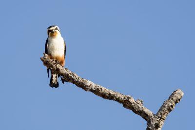 Collared Falconet (Microhierax caerulescens).