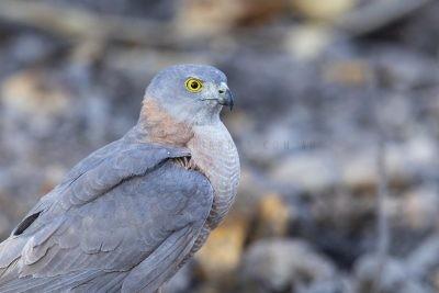 Collared Sparrowhawk - Portrait