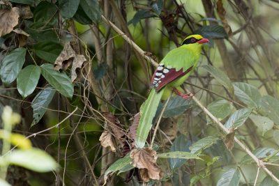 Common Green Magpie (Cissa chinensis)
