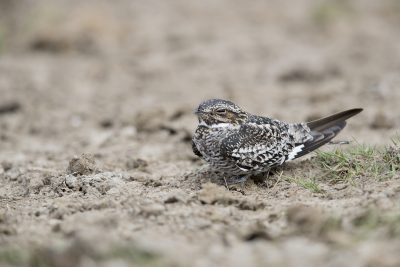 Common Nighthawk (Chordeiles minor)2