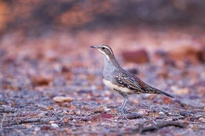 Copperback Quail-thrush - Female (Cinclosoma clarum)