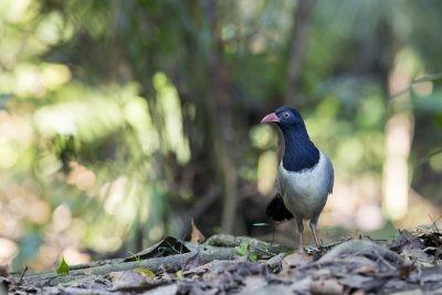 Coral-billed Ground-cuckoo3