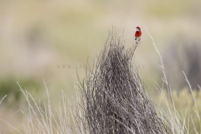 Crimson Chat (Epthianura tricolor)1