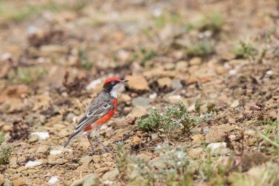Crimson Chat - Male (Epthianura tricolor)