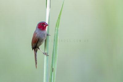 Crimson Finch - Female.1