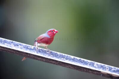 Crimson Finch (White-bellied) Male7
