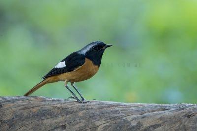 Daurian Redstart - Male