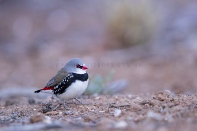 Diamond Firetail (Stagonopleura guttata)4
