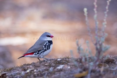 Diamond Firetail (Stagonopleura guttata)5
