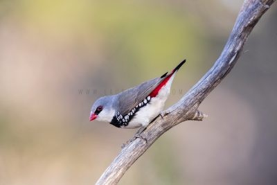 Diamond Firetail (Stagonopleura guttata)6