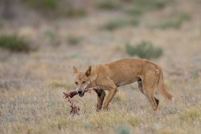 Dingo eating Kangaroo.
