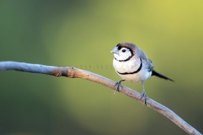 Double-barred Finch.
