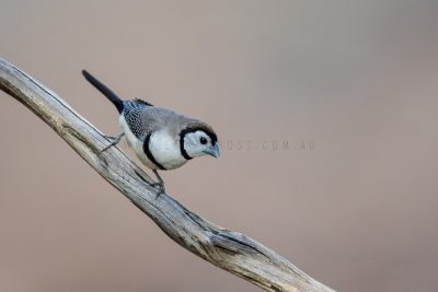 Double-barred Finch (Taeniopygia bichenovii annulosa)