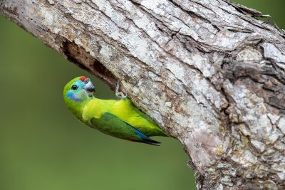 Double-eyed Fig-parrot - Female
