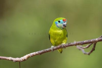 Double-eyed Fig-parrot - Female at nest (Cyclopsitta diophthalma marshalli)