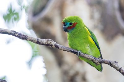 Double-eyed Fig-parrot - Male (Cyclopsitta diophthalma)