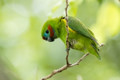 Double-eyed Fig-parrot - Male (Cyclopsitta diophthalma)1