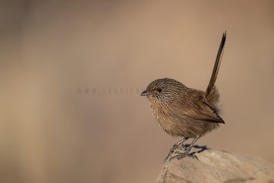 Dusky Grasswren - Alice Springs Male (Amytornis purnelli).1