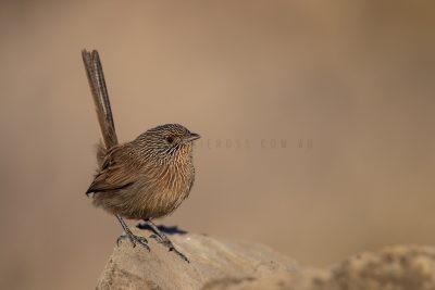 Dusky Grasswren - Alice Springs Male (Amytornis purnelli).2