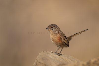 Dusky Grasswren - Alice Springs Female (Amytornis purnelli).1