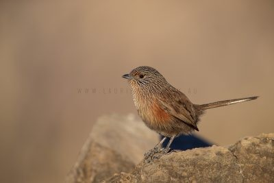 Dusky Grasswren - Alice Springs Female (Amytornis purnelli).4