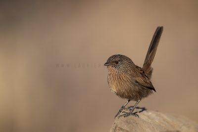 Dusky Grasswren - Alice Springs Male (Amytornis purnelli)