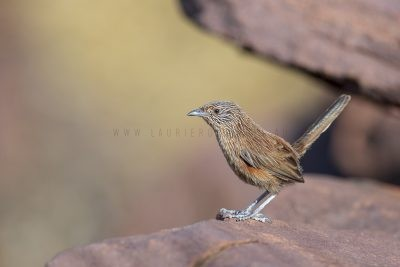Dusky Grasswren - Barrow Creek Female (Amytornis purnelli)