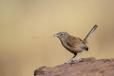 Dusky Grasswren - Barrow Creek Female (Amytornis purnelli).2