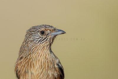 Dusky Grasswren - Barrow Creek Female Portrait (Amytornis purnelli).1