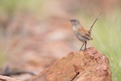 Dusky Grasswren - Male (Amytornis purnelli) Tennant Creek Hills1