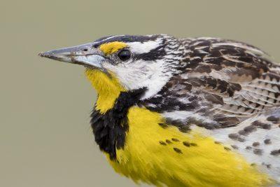 Eastern Meadowlark - Profile (Sturnella magna)