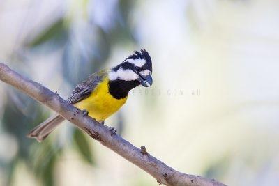 Eastern Shrike-tit - Male (Falcunculus frontatus frontatus).3