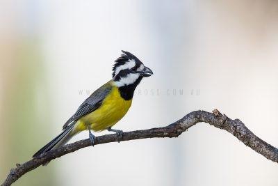 Eastern Shrike-tit - Male (Falcunculus frontatus frontatus).4