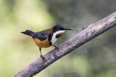 Eastern Spinebill - Tasmanian (Acanthorhynchus tenuirostris).