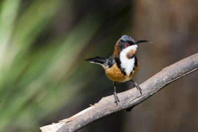Eastern Spinebill - Tasmanian (Acanthorhynchus tenuirostris)