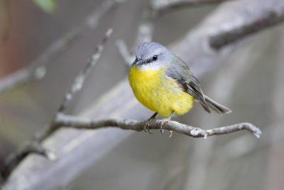 Eastern Yellow Robin (Eopsaltria Australis Australis) - Capertee Valley, NSW