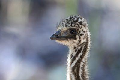 Emu - Juv Portrait (Dromaius novaehollandiae)