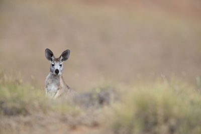 Euro - Flinders Rangers NP, South Australia