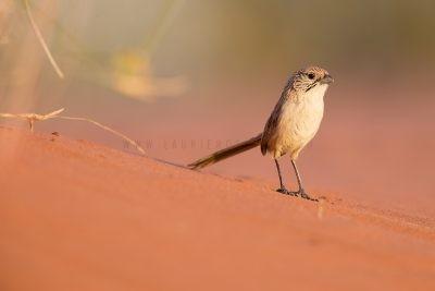 Eyrean Grasswren - Male (Amytornis goyderi)