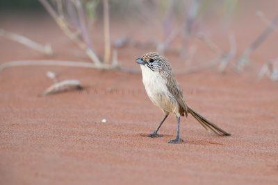 Eyrean Grasswren - Male (Amytornis goyderi)1