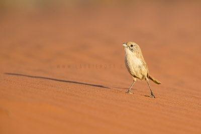 Eyrean Grasswren - Male (Amytornis goyderi)2