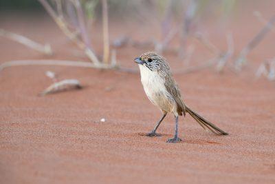 Eyrean Grasswren (Amytornis goyderi) - Simpson Desert, NT
